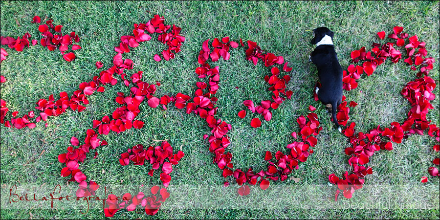 dog walking through rose petals